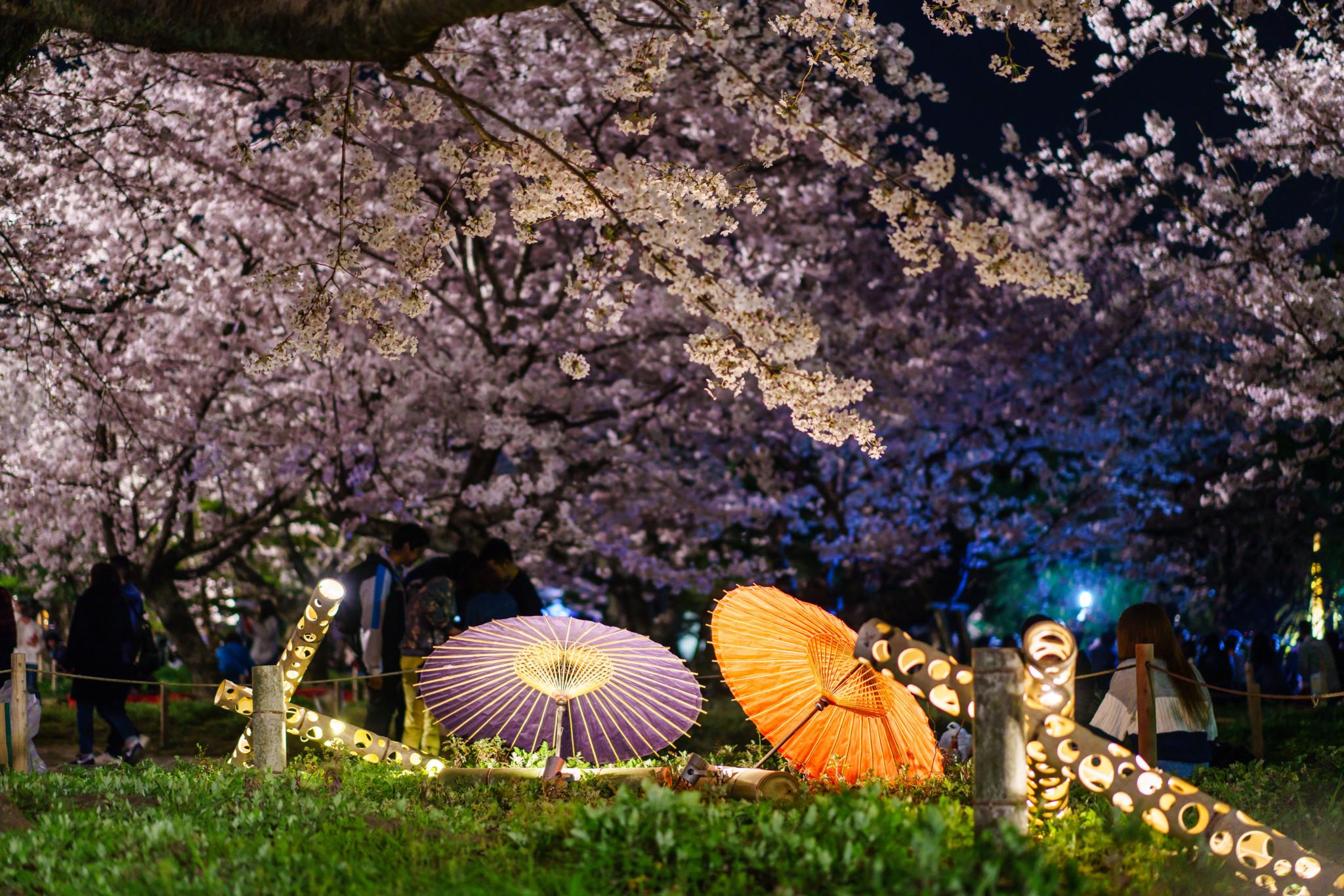 舞鶴公園 夜櫻